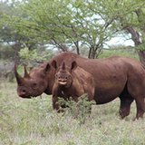 news-national-20131031-US-Rhino-Hunt-Auction