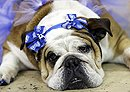 Bulldog Beauty