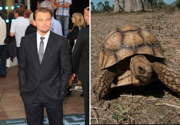 tortoise, sulcata, leo, leonardo, dicaprio, pet turtle