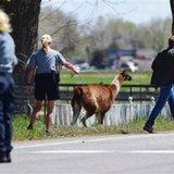 It takes a village to corral a loose llama in Colorado
