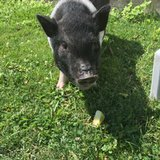Owner: Pig found after 6 weeks in 'pretty good' condition