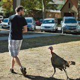 Real-life angry birds: Town tries to rein in rowdy turkeys