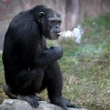 Meet Azalea the smoking chimp, new star at Pyongyang zoo