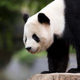 Special delivery: US-born panda cub Bao Bao bound for China