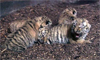 Tiger Cubs Get First Check-Up at Zoo
