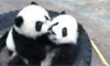 Panda Triplets Celebrate 1st Birthday